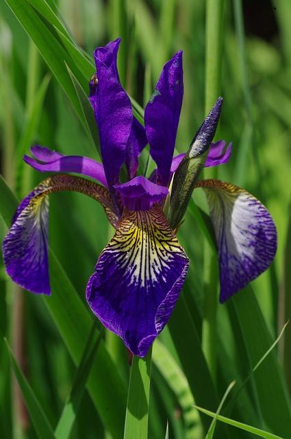Plotting multivariate data with Matplotlib/Pylab: Edgar Anderson's Iris flower data set